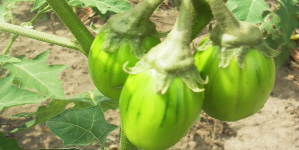 4-aubergine-verte